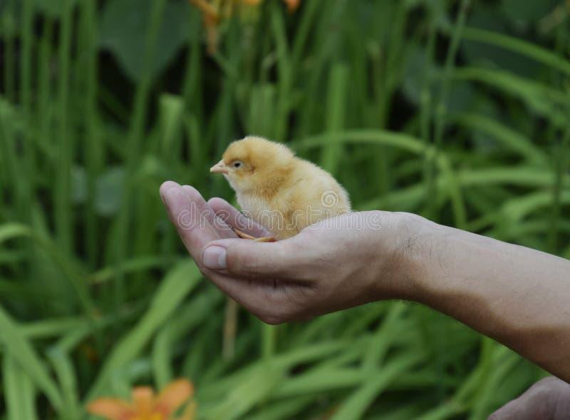 鸡现有量 小新出生的小鸡在人的手上 免版税库存照片
