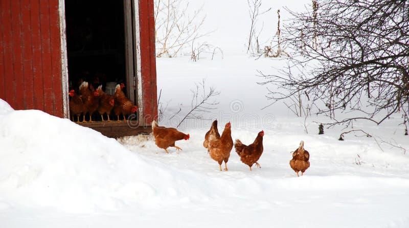 鸡突然行动 库存图片