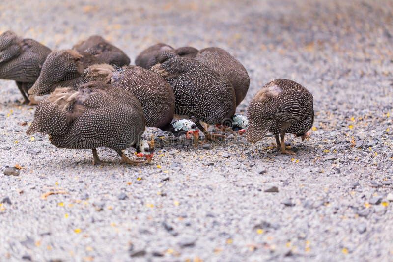 鸡自由放养在地面上 库存照片