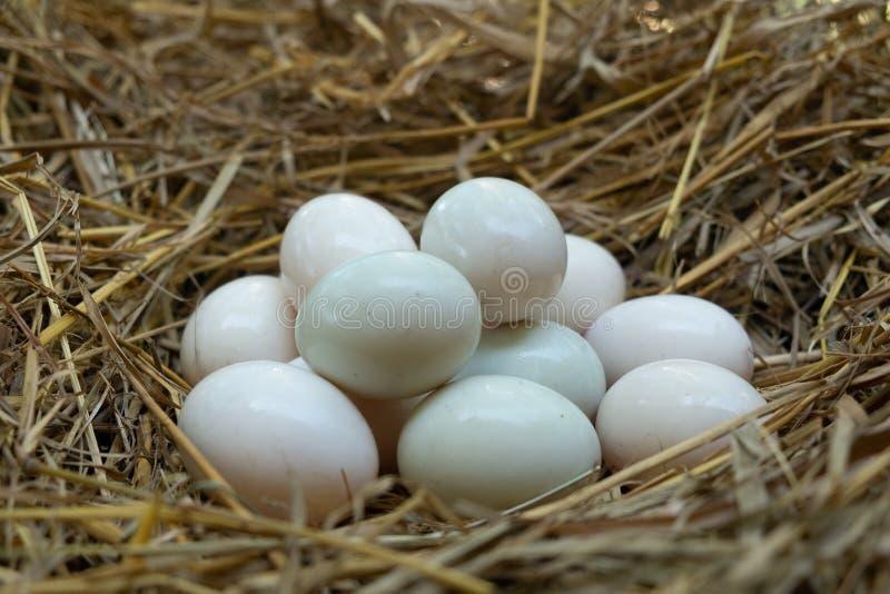 鸡蛋在秸杆,白色鸭子鸡蛋投入了 库存照片