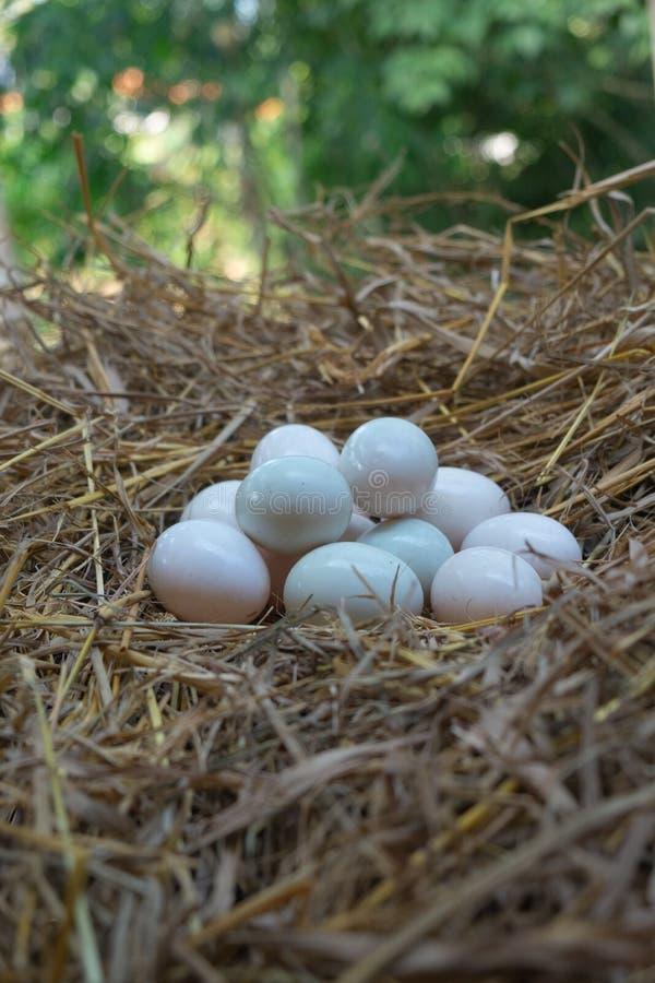 鸡蛋在秸杆,白色鸭子鸡蛋投入了 免版税图库摄影