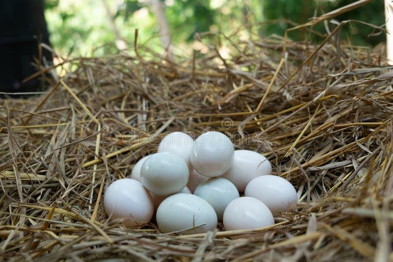 鸡蛋在秸杆,白色鸭子鸡蛋投入了 库存图片