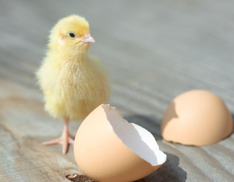 淫乱黄色小?:)?h?_从鸡蛋孵化的小黄色小鸡