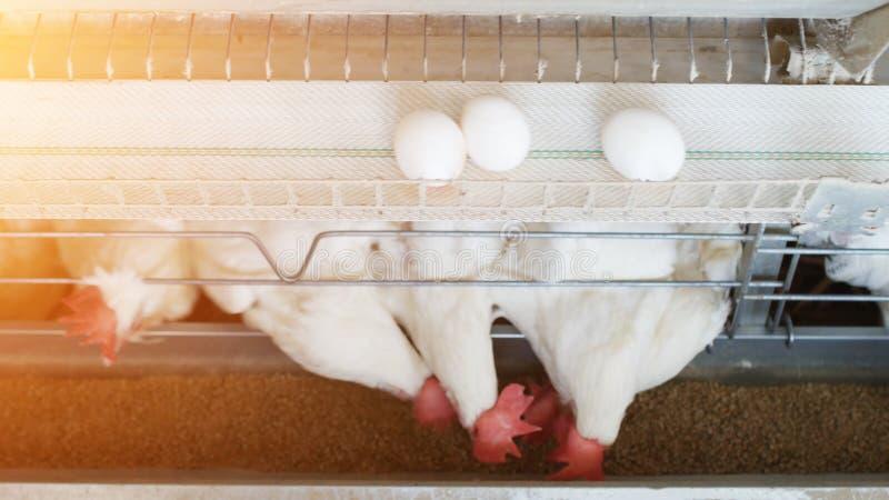 鸡蛋家禽场,鸡鸡蛋在传送带,太阳,农场去 库存照片