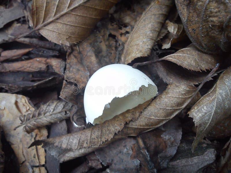 鸡蛋的半chell 库存图片