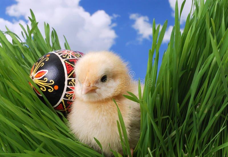 鸡逗人喜爱草隐藏 图库摄影