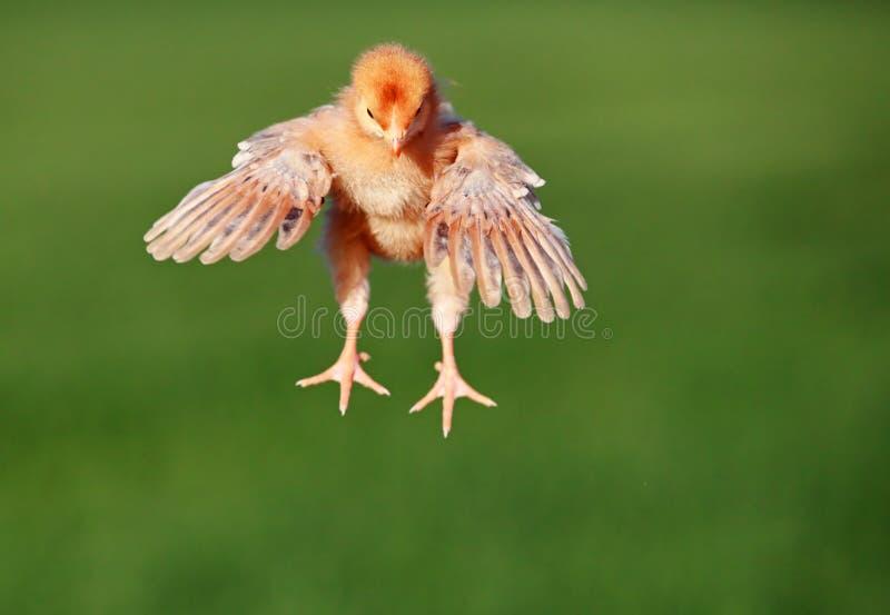 鸡飞行 免版税图库摄影