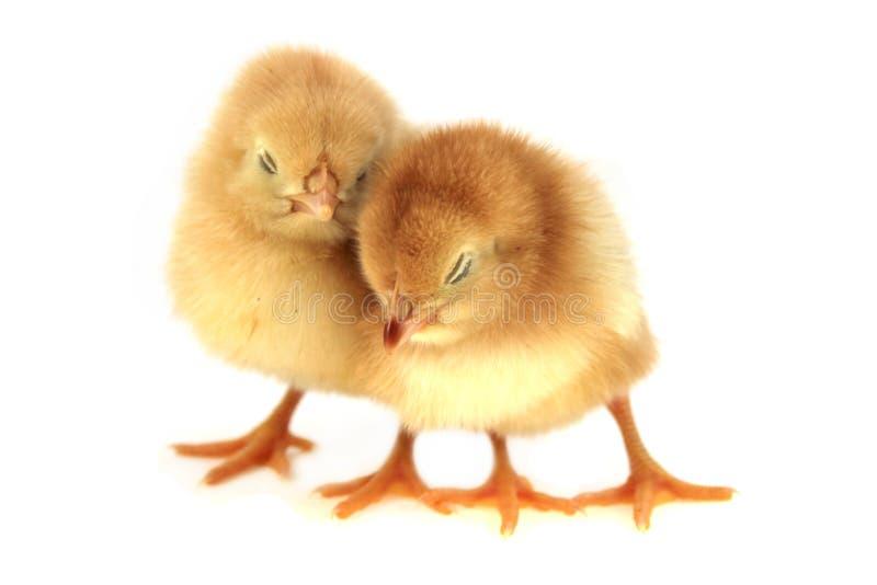 鸡黄色 库存照片