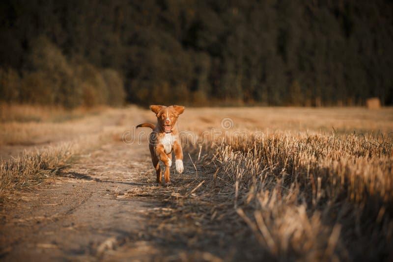 Download 鸣钟人在一个领域的小狗在日落 库存图片. 图片 包括有 五颜六色, 本质, beauvoir, 背包, 使用 - 59100797