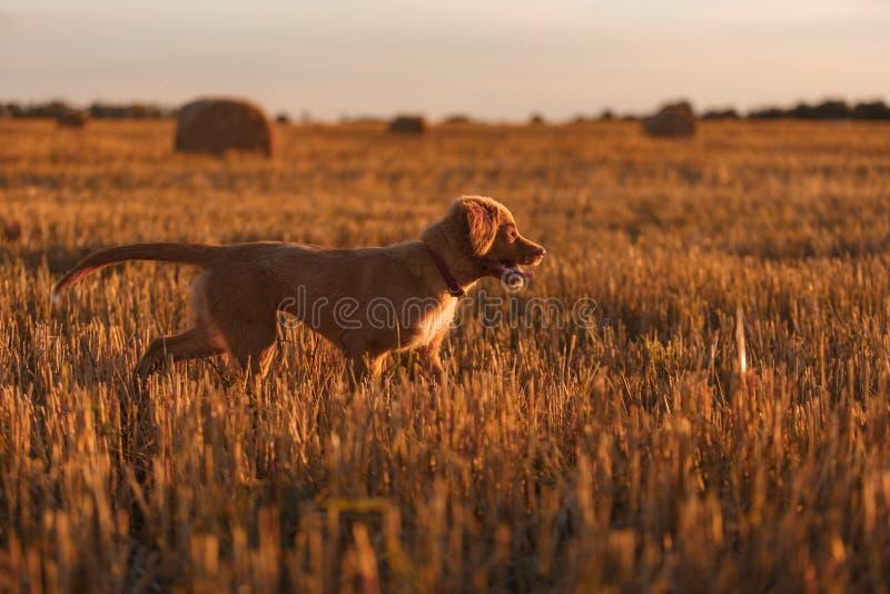 Download 鸣钟人在一个领域的小狗在日落 库存图片. 图片 包括有 地毯, 五颜六色, 逗人喜爱, 使用, 楼层, 交配动物者 - 59100917