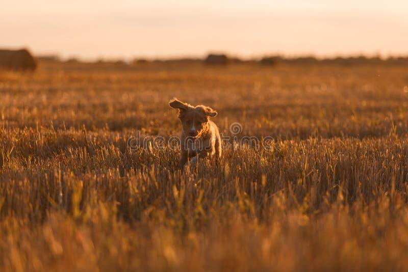 Download 鸣钟人在一个领域的小狗在日落 库存照片. 图片 包括有 五颜六色, 眼睛, 鸭子, browne, 似犬 - 59100966