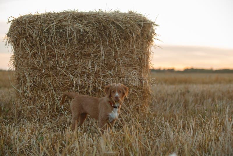 Download 鸣钟人在一个领域的小狗在日落 库存照片. 图片 包括有 健康, 楼层, beauvoir, 照亮, 背包 - 59100986
