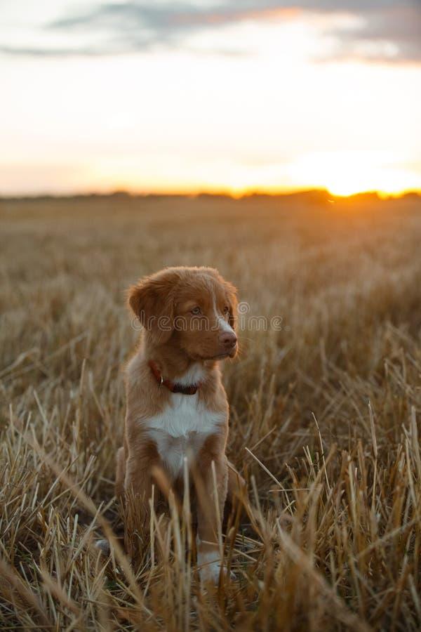 Download 鸣钟人在一个领域的小狗在日落 库存照片. 图片 包括有 眼睛, 健康, 鸭子, 敬慕, 本质, 背包, 家谱 - 59100992
