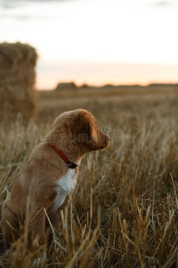 Download 鸣钟人在一个领域的小狗在日落 库存图片. 图片 包括有 beauvoir, 鸭子, 地毯, 少许, 朋友 - 59101133