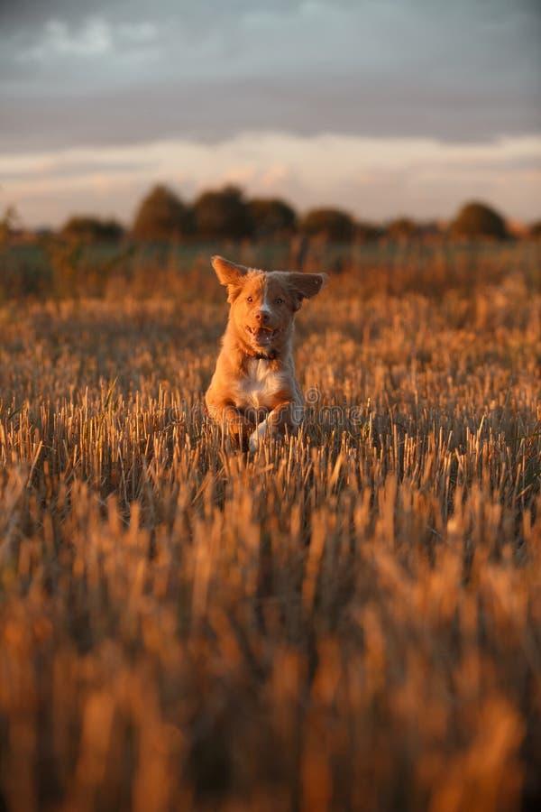 Download 鸣钟人在一个领域的小狗在日落 库存图片. 图片 包括有 宠物, 家谱, 下来, 哺乳动物, beautifuler - 59101233