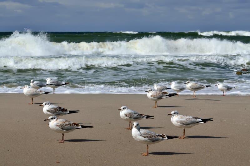 鸥和风暴波罗的海 库存图片