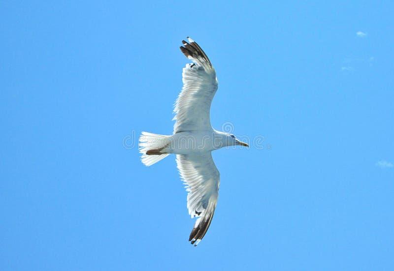 鸥在天空飞行 库存照片