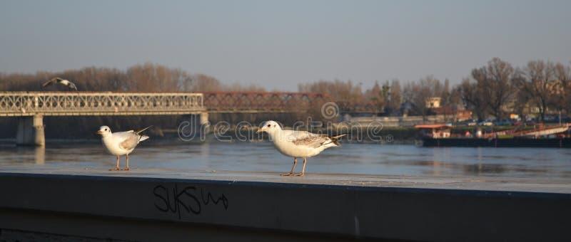 鸥在布拉索夫 库存照片