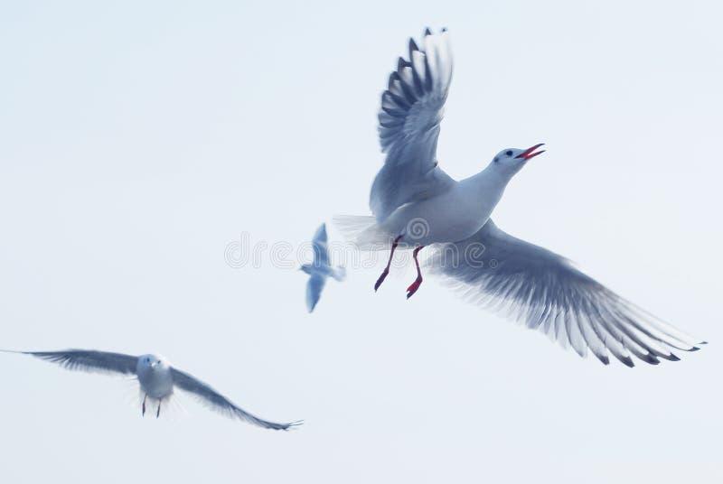 鸥属canus青岛,中国 免版税图库摄影