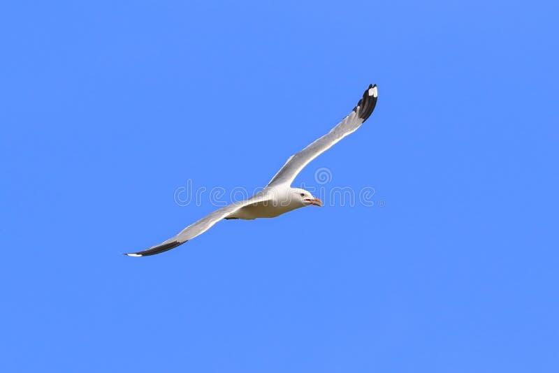 鸥属canus 海鸥在西伯利亚温文地飞行 免版税图库摄影