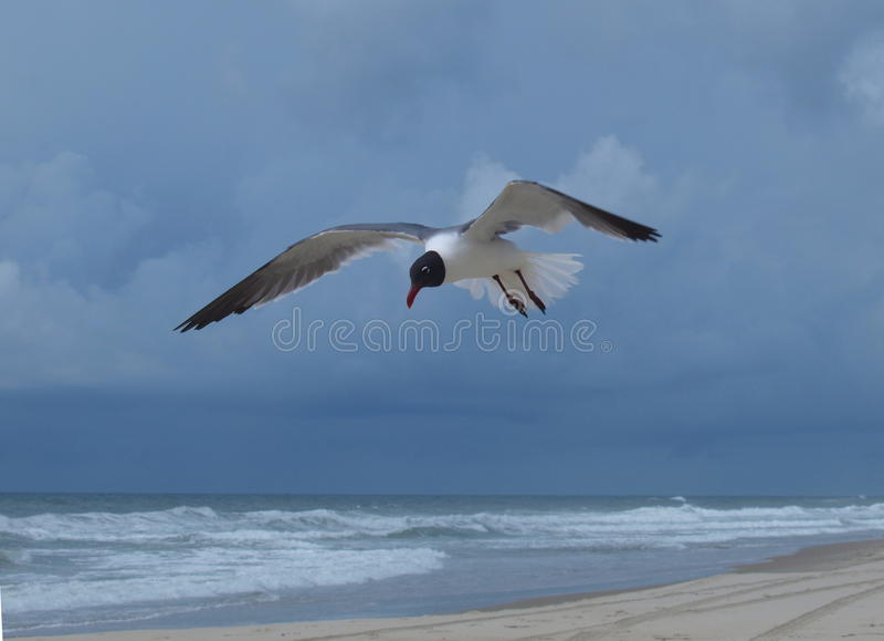 Download 鸥笑 库存图片. 图片 包括有 双翼飞机, 通知, 海岸, 野生生物, 外面, 羽毛, 卡罗来纳州, 护拦 - 72358541