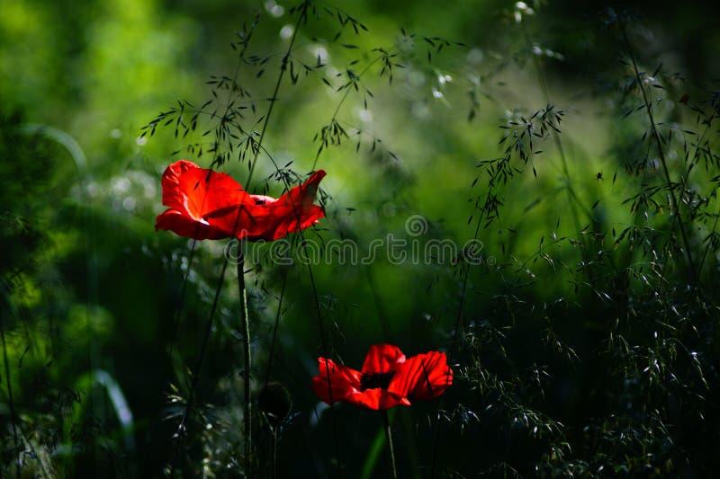鸦片、红色花一半和草甸 图库摄影