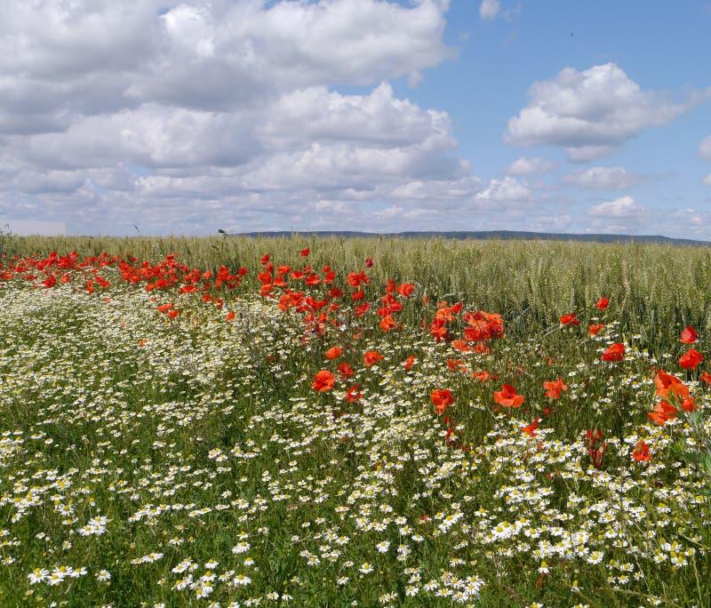 鸦片、雏菊和麦子的领域在法国的香宾地区 库存照片