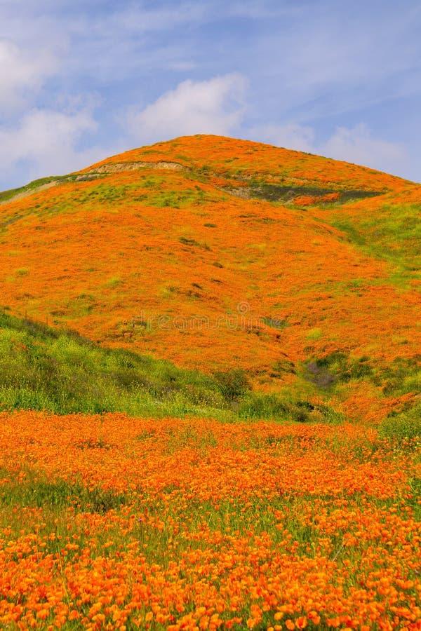 鸦片五颜六色的橙色小山在超级绽放期间的加利福尼亚 免版税库存照片