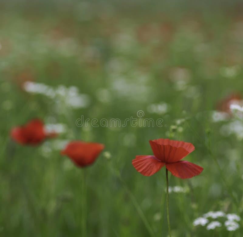 鸦片和其他野花的美好的五颜六色的领域在春天和夏天奥尔恰谷托斯卡纳意大利 免版税库存照片
