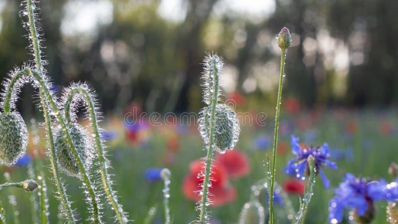 鸦片和矢车菊在草甸红色和蓝色花开花在雨以后 春天,背景 免版税库存图片