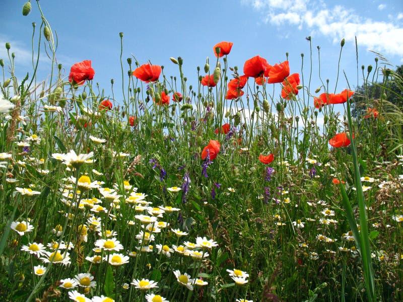 鸦片和雏菊在天空背景 底视图 库存图片