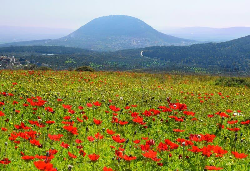 鸦片春天绽放在内盖夫加利利在拿撒勒,以色列地区 免版税库存图片