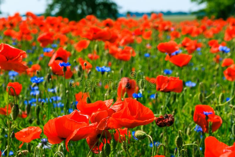 鸦片植物在与蓝色花的阳光下在领域 库存照片