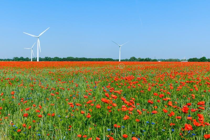 鸦片植物在有天空蔚蓝和风轮机的玉米田 免版税库存图片