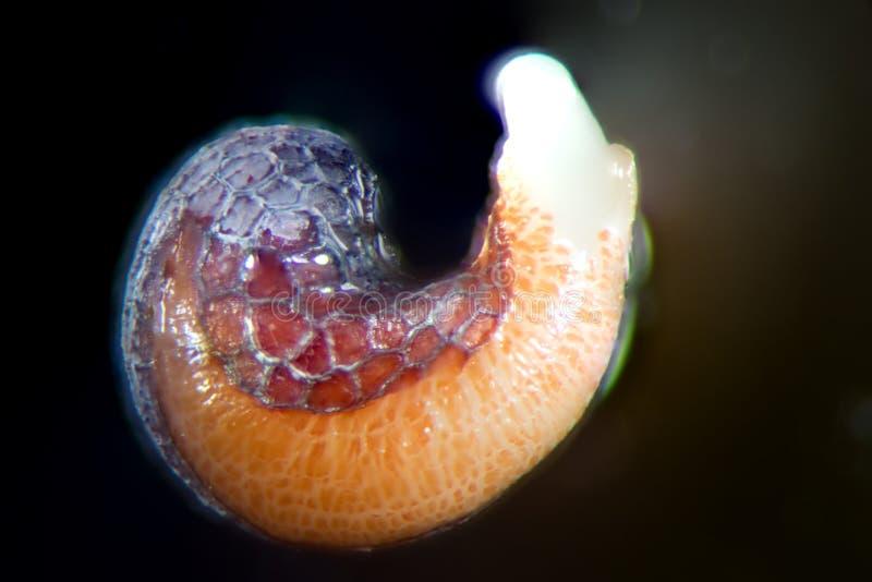 鸦片罂粟发芽的种子 由显微镜弄湿射击罂粟 麻醉,药物鸦片制剂和食用植物 免版税库存照片