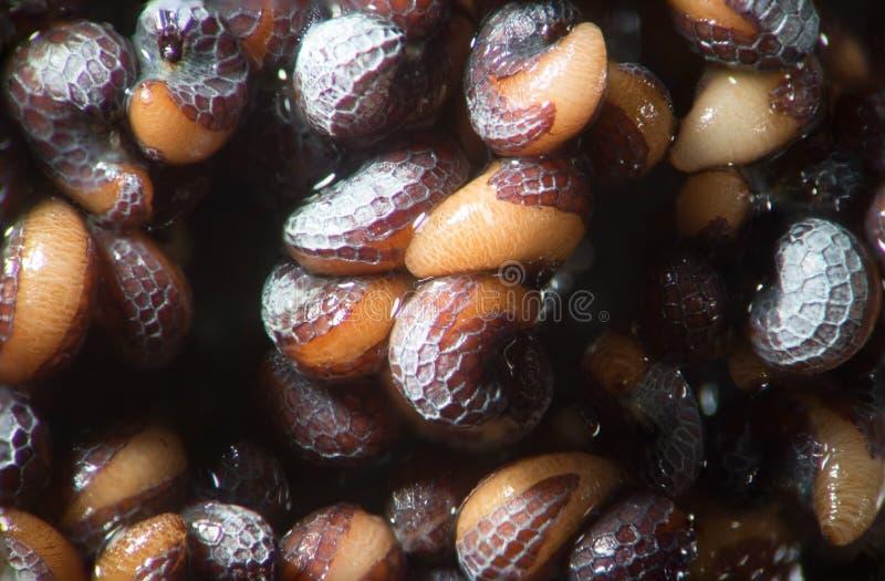 鸦片罂粟发芽的种子 由显微镜弄湿射击罂粟 麻醉,药物鸦片制剂和食用植物 库存照片