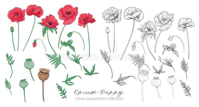 鸦片罂粟植物集合 色的和概述集合储蓄传染媒介illu 库存例证
