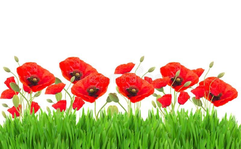 鸦片花和草 库存图片