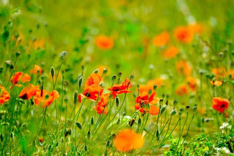 鸦片草甸在夏天 库存图片