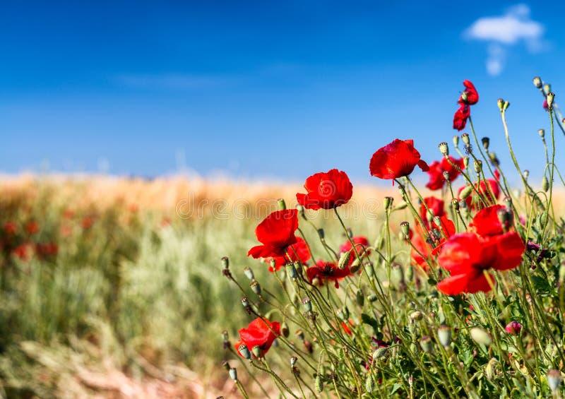 鸦片草甸,托斯卡纳在春天 库存图片