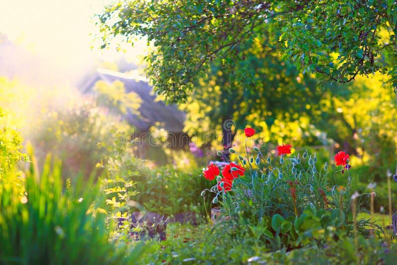 鸦片调遣在日落 红色鸦片灌木在前景的在反对日落的背景的庭院里 库存图片