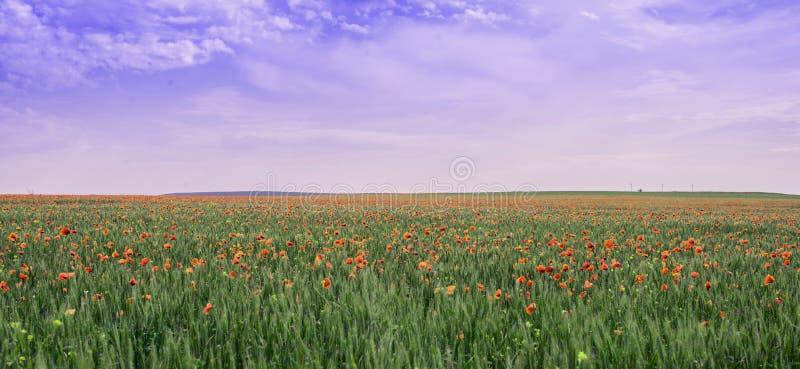 鸦片领域在紫色天空下 不自然的颜色 库存图片