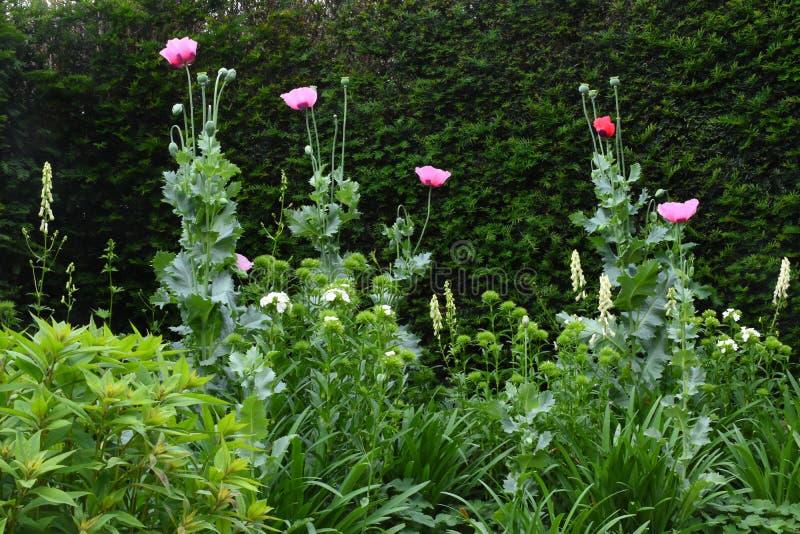 鸦片, Tintinhull庭院,萨默塞特,英国,英国 库存照片
