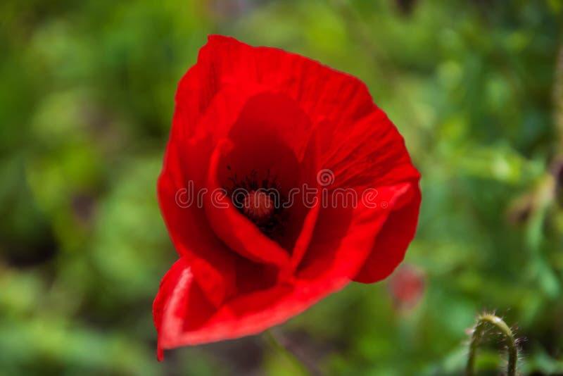 鸦片 开花红色的鸦片 鸦片在庭院里 鸦片反弹和夏天花,夏日 免版税库存图片