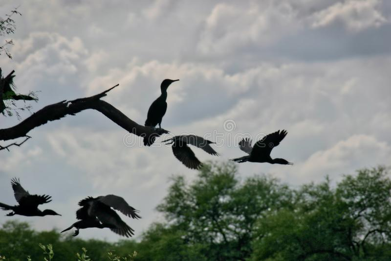 鸬鹚剪影在Keoladeo加纳国立公园在拉贾斯坦,印度 免版税库存图片