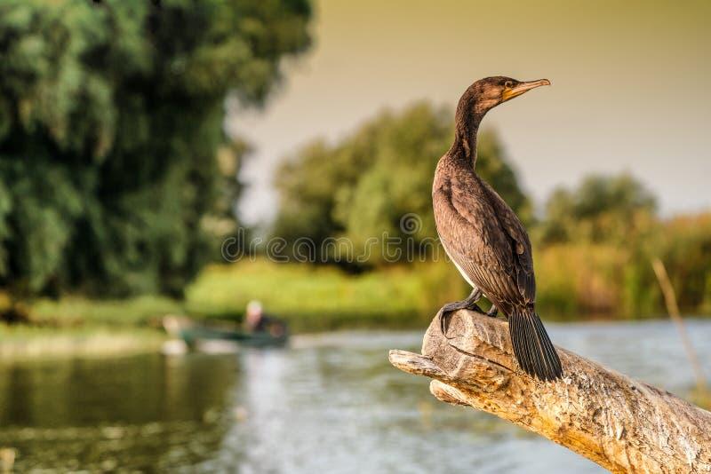 鸬鹚在多瑙河三角洲罗马尼亚的鸬鹚auritus 免版税库存照片