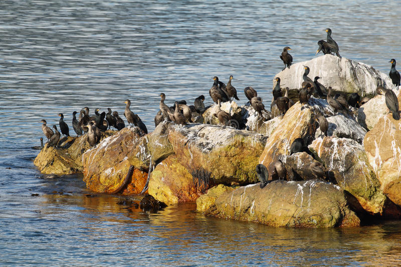 鸬鹚在贝蒂的海湾 库存照片