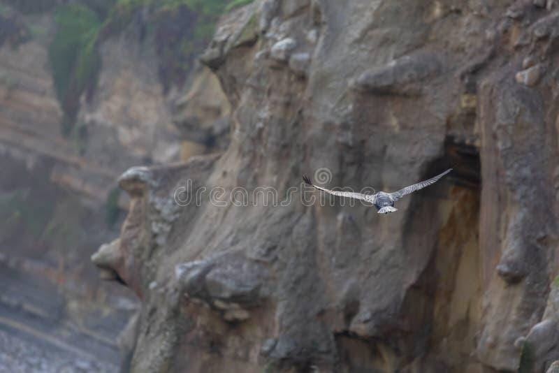鸬鹚沿峭壁的鸟飞行在太平洋拉霍亚海滩,圣迭戈,加利福尼亚 免版税库存图片