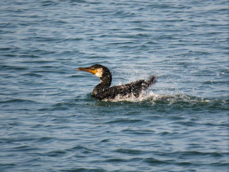 鸬鹚游泳和震动在风平浪静特写镜头的鸬鹚pelagicus 库存图片