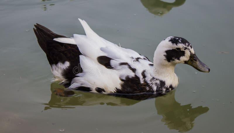鸭子一点游泳 库存图片